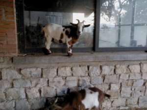 Not yet in Brazil shepherding goats, but here's one I worked for previously in Italy